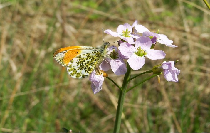 Cuckoo_Flower_with_male_Orange-tip_butterfly