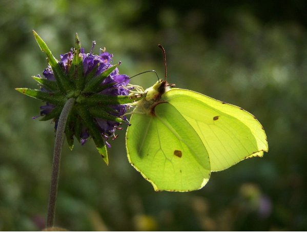 bc_Brimstone_butterfly_nectars_on_Devil_s-bit_Scabious_bc