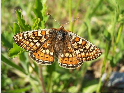 freshly_emerged_female_Marsh_Fritillary_Butterfly