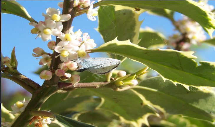Holly_Blue_ovipositing__laying_eggs__on_variegated_Holly