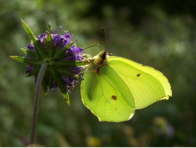 db_Brimstone_butterfly_nectars_on_Devil_s-bit_Scabious3