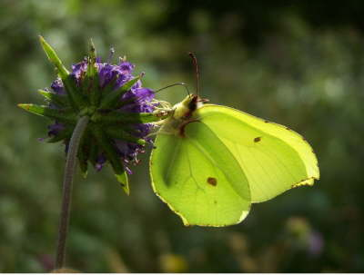 db_Brimstone_butterfly_nectars_on_Devil_s-bit_Scabious5
