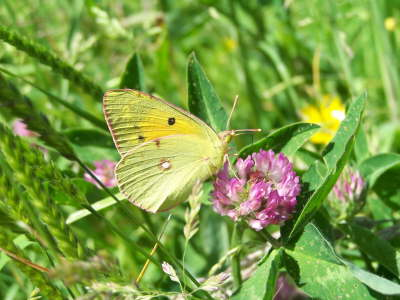 db_Clouded_Yellow_female_Colias_croceus3