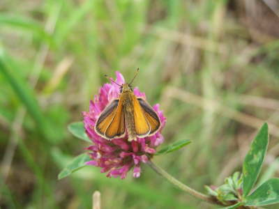db_Essex_Skipper_male_Thymelicus_lineola2