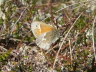 db_Large_Heath_Coenonympha_tullia1