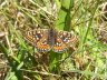 db_Marsh_Fritillary