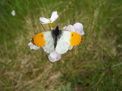 db_Orange-tip_male__Anthocharis_cardamines2