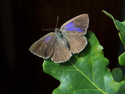 db_Purple_Hairstreak_female_Quercusia_quercus3
