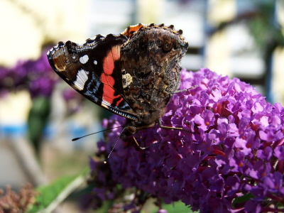 db_Red_Admiral1