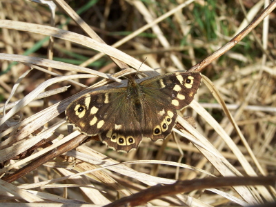 db_Speckled_Wood1