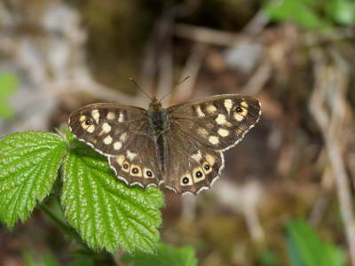 db_Speckled_Wood_male_Pararge_aegeria2