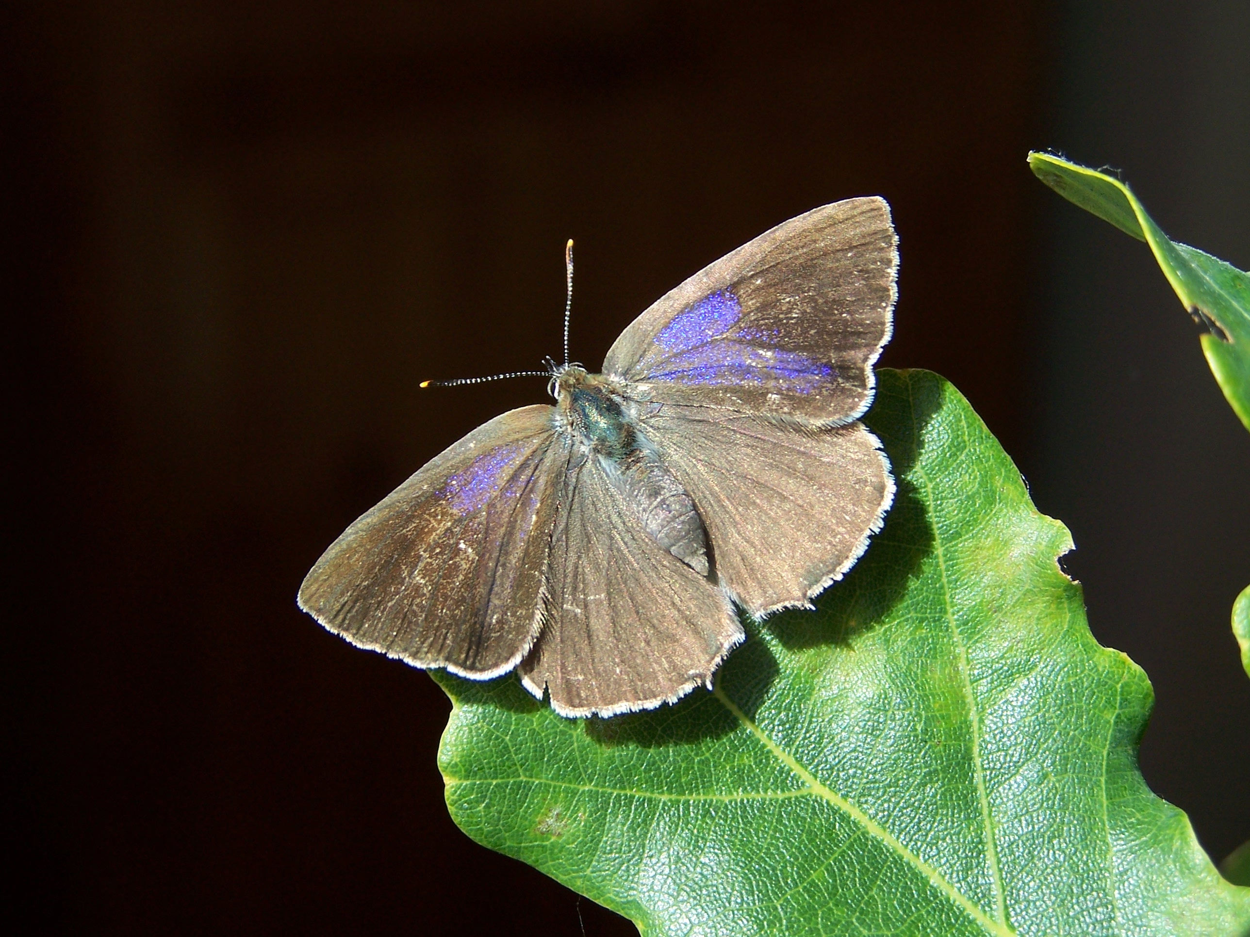14. Purple Hairstreak, female, France.100b6751