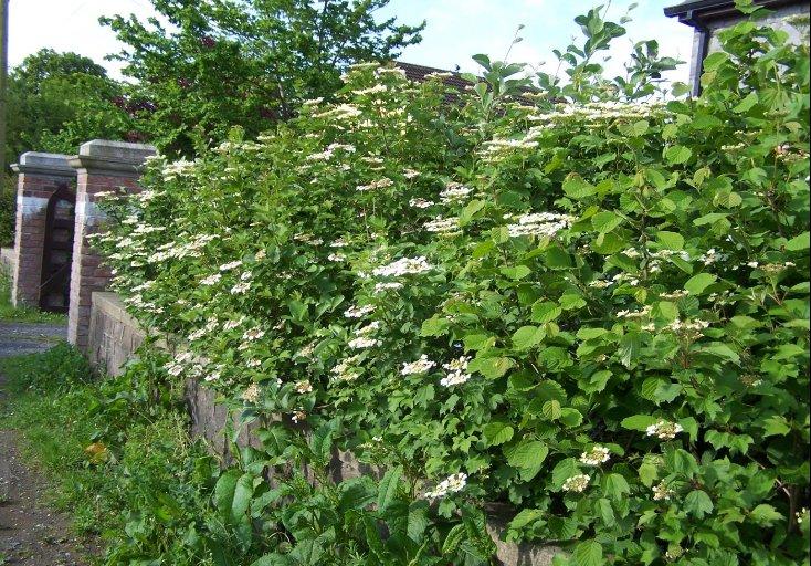 Native_hedgerow_featuring_Guelder_Rose__Hazel_and_Irish_Whitebeam
