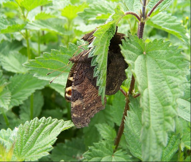 Two_Peacock_butterflies_ovipositing_on_the_underside_of_a_nettle_leaf
