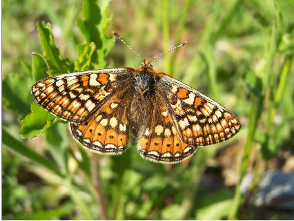 freshly_emerged_female_Marsh_Fritillary_Butterfly