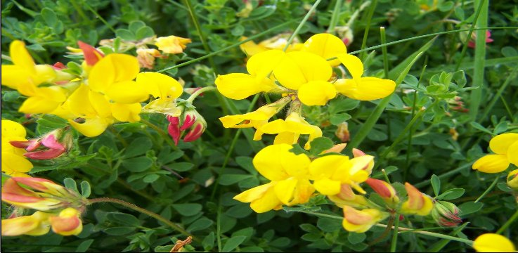Common_Bird_s-foot-trefoil