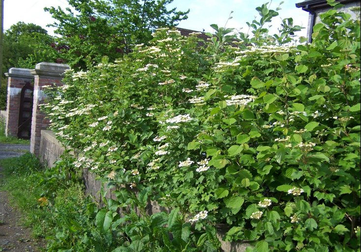 Native_hedgerow_featuring_Guelder_Rose__Hazel_and_Irish_Whitebeam
