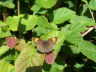 db_Brown_Hairstreak_female_Thecla_betulae1