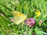 db_Clouded_Yellow_female_Colias_croceus1