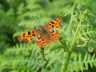 db_Comma_Polygonia_c-album1