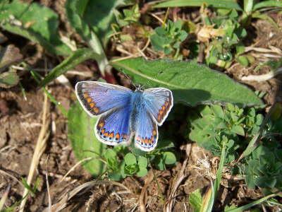 db_Common_Blue_female_Polyommatus_icarus3