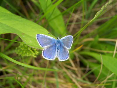 db_Common_Blue_male_Polyommatus_icarus3