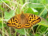 db_Dark_Green_Fritillary
