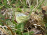 db_Green-veined_White