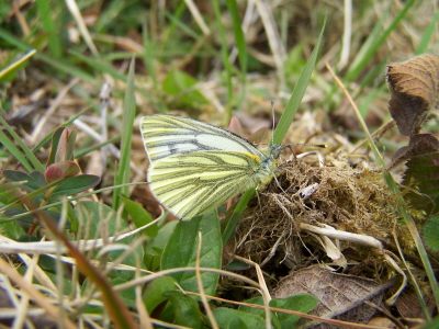 db_Green-veined_White1
