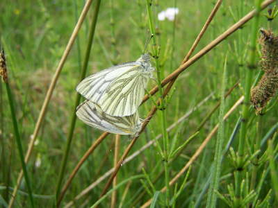 db_Green-veined_Whites_Pieris_napi3