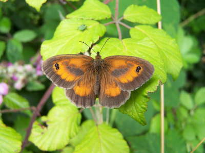 db_Hedge_Brown_Gatekeeper_male_Pyronia_tithonus2