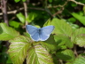 db_Holly_Blue_male_Celastrina_argiolus1
