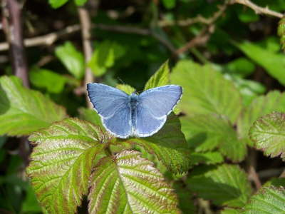 db_Holly_Blue_male_Celastrina_argiolus3