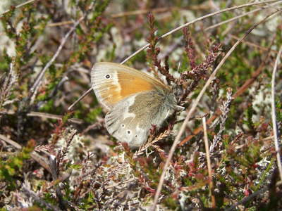 db_Large_Heath_Coenonympha_tullia3