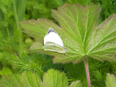db_Large_White_male_Pieris_brassicae2