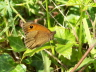 db_Meadow_Brown