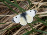 db_Orange-tip_female_Anthocharis_cardamines1
