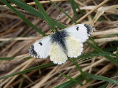 db_Orange-tip_female_Anthocharis_cardamines2