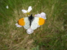 db_Orange-tip_male__Anthocharis_cardamines1
