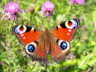 db_Peacock_on_Common_Knapweed1