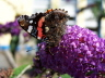 db_Red_Admiral
