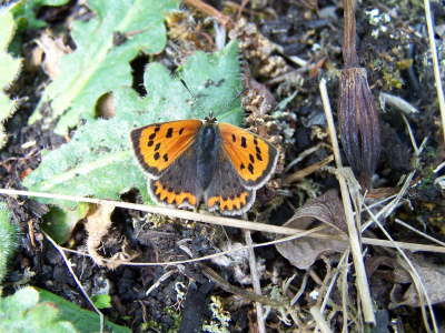 db_Small_Copper_female_Lycaena_phlaeas3