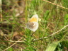 db_Small_Heath_Ceononympha_pamphilus1