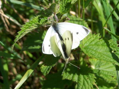 db_Small_White_male_above_Pieris_rapae2