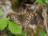 db_Speckled_Wood_male_Pararge_aegeria1