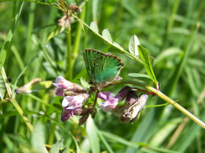 db_bc_Green_Hairstreak2