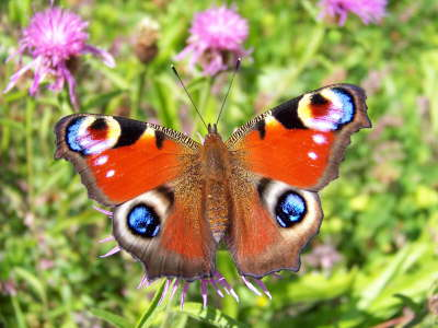 db_bc_Peacock_on_Common_Knapweed2