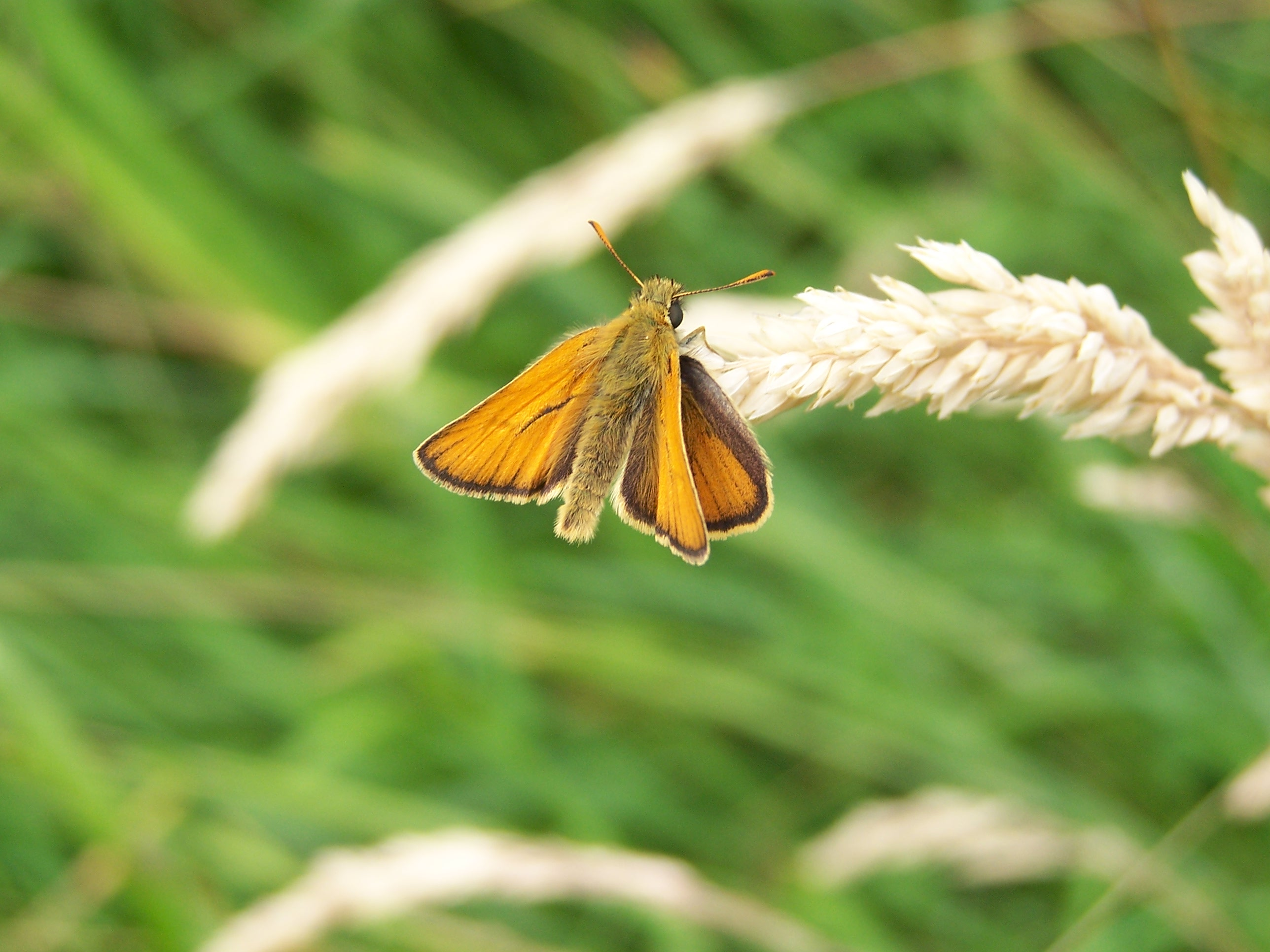 01. Small Skipper.100_0491