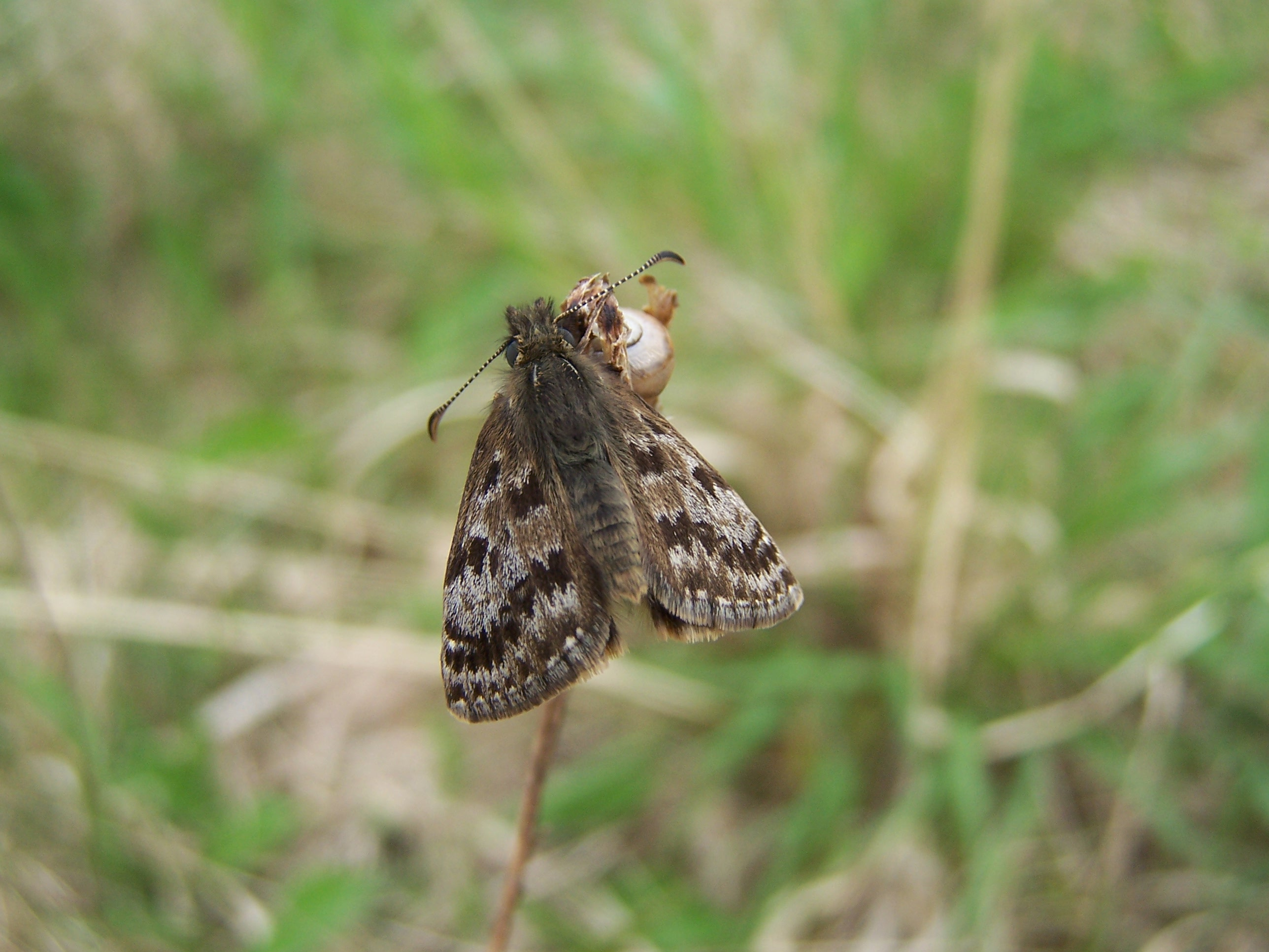 03. Dingy Skipper.100_0323