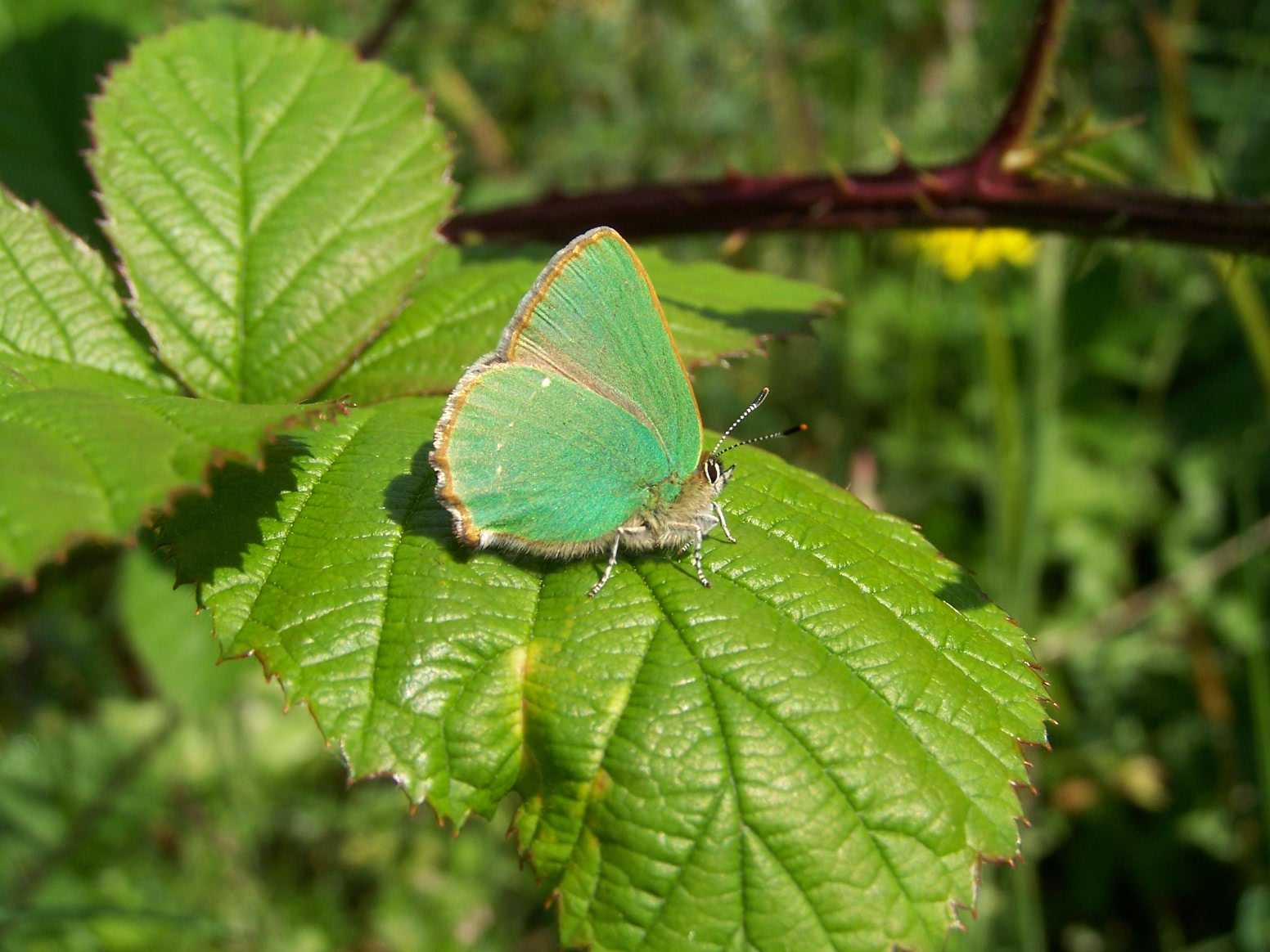 12. Green Hairstreak.100b3700